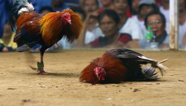 online cockfighting betting game